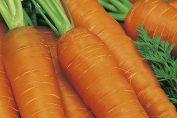 выращивание моркови как бизнес
