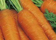Выращивание моркови как бизнес: как вырастить хороший урожай?
