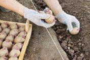 глубина вспашки под картофель летней посадки