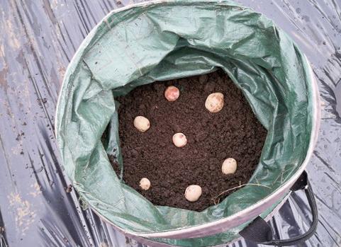как вырастить картофель в бочке