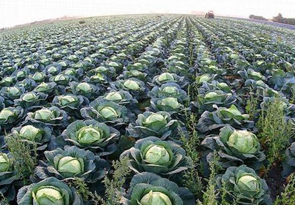 какие листья надо обрывать у капусты