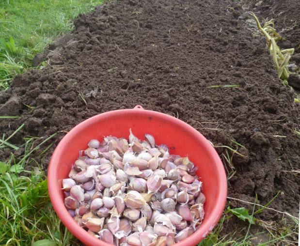 Применение препарата максим при посадке чеснока