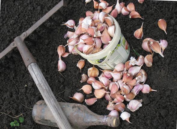 Подготовка чеснока к посадке под зиму