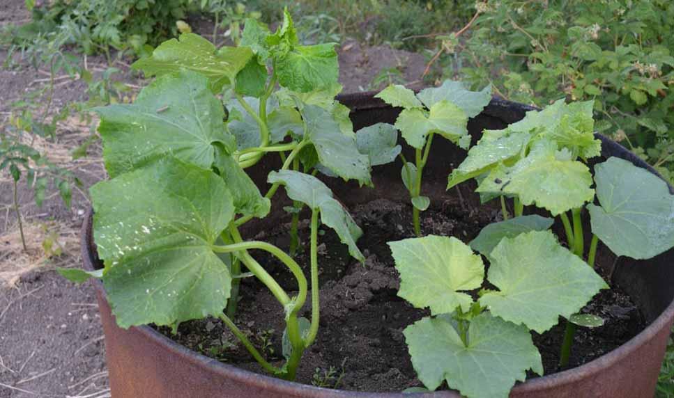 Выращивание кабачков в открытом грунте 2