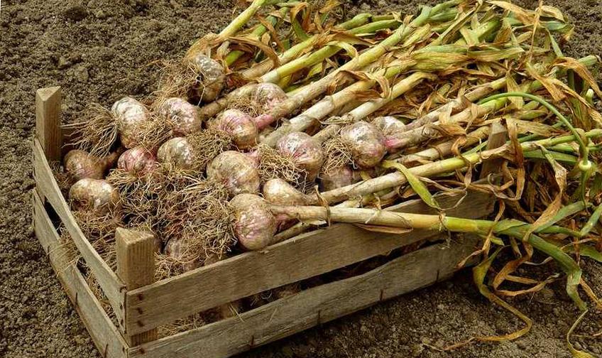 Правильное выращивание чеснока 85