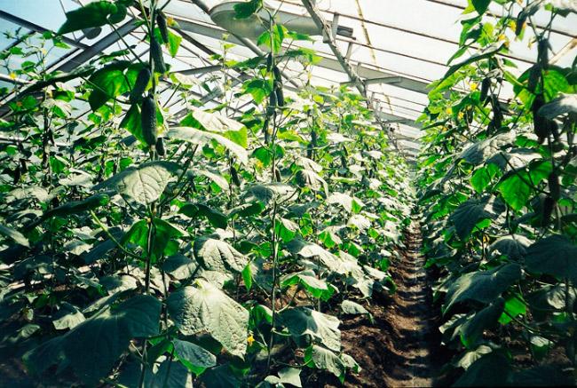 Технология выращивания огурцов