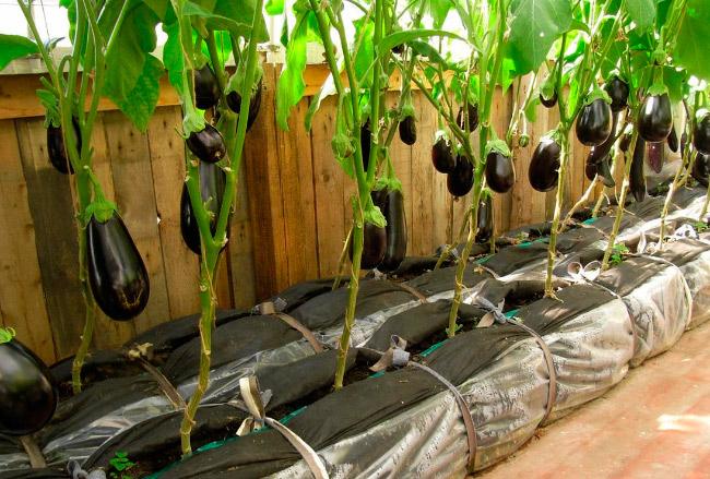 Выращивание тепличных баклажанов
