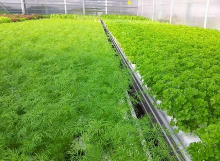 Выращивание зелени в тепличных условиях