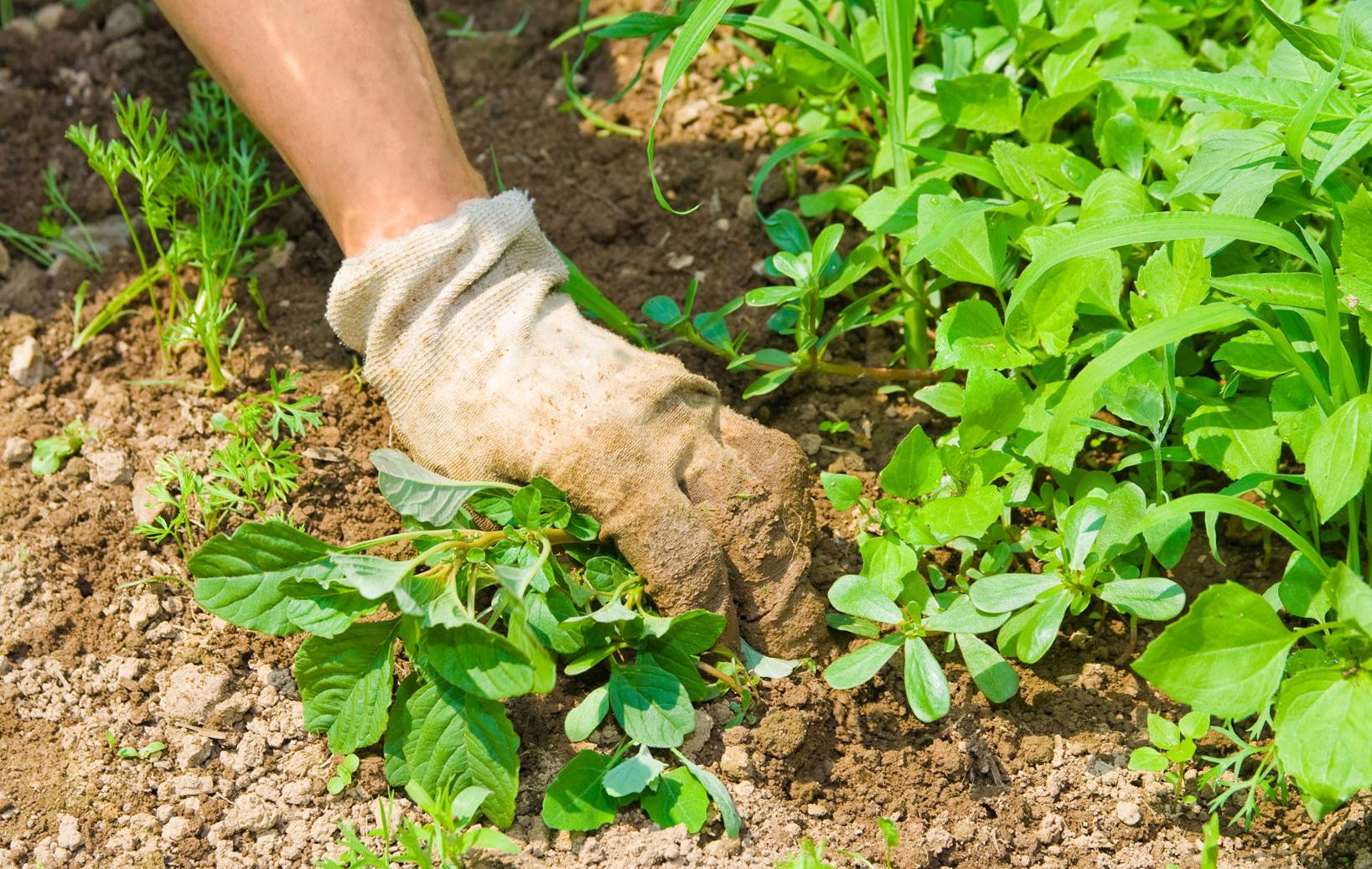 Как правильно сажать корневую петрушку 26