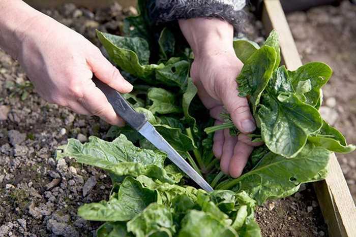 Как правильно выращивать шпинат на огороде