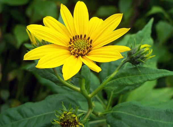 цветок топинамбура