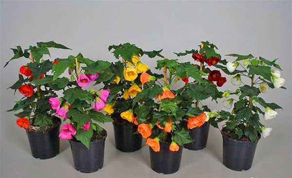 Яркие цветы Абутилона