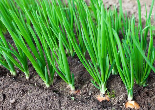 Технология выращивания лука на семена 98