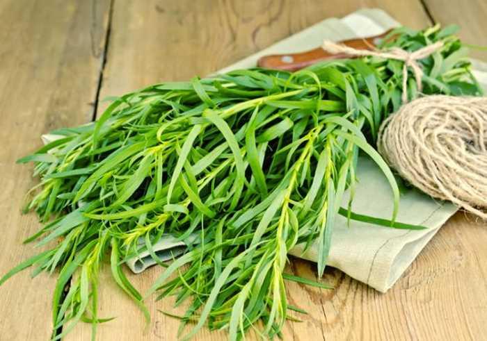 Выращиваем тархун. Выращивание эстрагона из семян
