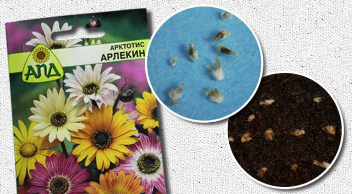 Семена арктотиса