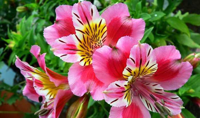 Цветы альстромерии