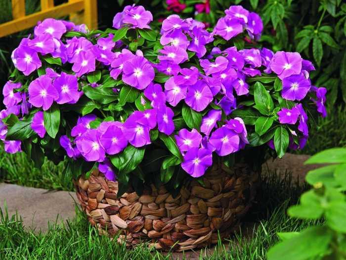 Цветок барвинок сроки посева и особенности выращивания