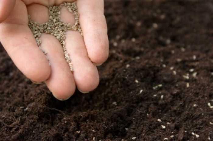 Семена бегонии вечноцветущей