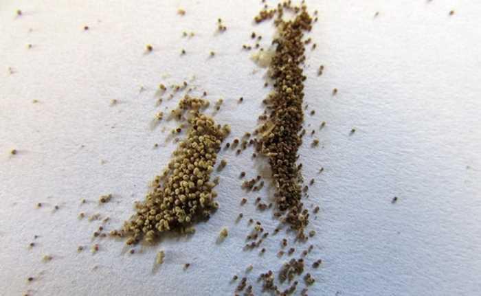 Семена эустомы