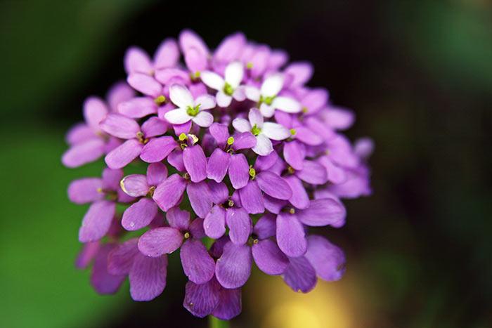 Иберис зонтичный светлячок выращивание из семян. Иберис посадка и уход в грунте выращивание из семян. Иберис: вредители и грибковые заболевания