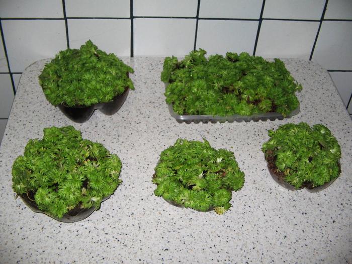 Можно ли выращивать камнеломку в домашних условиях?