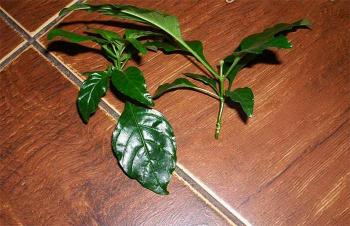 Как выращивать кроссандру в домашних условиях?